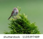 song sparrow  melospiza melodia ... | Shutterstock . vector #1135397489