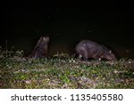capybara photographed in the... | Shutterstock . vector #1135405580