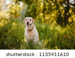 Stock photo dog labrador retriever playing outside smile in green park 1135411610