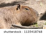 large capybara in a zoo | Shutterstock . vector #1135418768