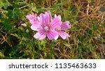 malva sylvestris  mallow plant...   Shutterstock . vector #1135463633