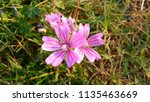 malva sylvestris  mallow plant...   Shutterstock . vector #1135463669