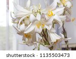 bouquet of white lilies for... | Shutterstock . vector #1135503473