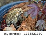 toad is an amphibian  skin is... | Shutterstock . vector #1135521380
