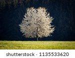 blossoming cherry tree. spring... | Shutterstock . vector #1135533620