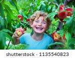 happy boy harvesting peaches in ... | Shutterstock . vector #1135540823