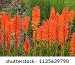 Orange Kniphofia  Red Hot Poker ...