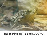 toad sitting on ground | Shutterstock . vector #1135690970