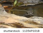 toad peeping out of pond | Shutterstock . vector #1135691018