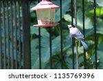 blue jay songbird flying onto... | Shutterstock . vector #1135769396