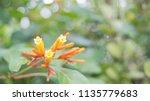 Flower Of  Firebush  Redhead ...