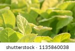 tobacco in the agricultural... | Shutterstock . vector #1135860038