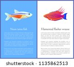 filamented flasher wrasse and...   Shutterstock .eps vector #1135862513