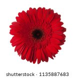 red gerbera flower isolated on... | Shutterstock . vector #1135887683