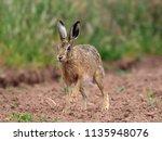 Stock photo european brown hare lepus europaeus single hare in field warwickshire july 1135948076