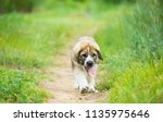 puppy breed of spanish mastiff...   Shutterstock . vector #1135975646