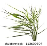 Green Reed Cane Grass Isolated ...