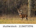 Trophy White Tailed Deer Buck...