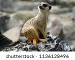 Little Meerkat Or Suricate...
