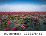 the red lotus sea with the sky... | Shutterstock . vector #1136176463