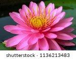 Beautiful Pink Lotus Or...