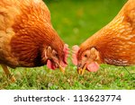 Domestic Chickens Eating Grain...