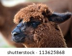 this is a close up of an alpaca | Shutterstock . vector #113625868