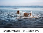 Stock photo little dog in the water jumping on the wave jack russell terrier pet on vacation 1136305199