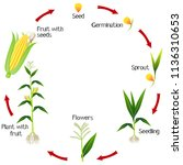 a growth cycle of a corn plant... | Shutterstock .eps vector #1136310653