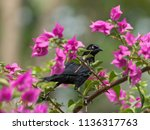 Stock photo perched carib grackle 1136317763