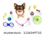 curious chihuahua dog looking... | Shutterstock . vector #1136349710