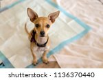chihuahua puppy looking up on a ... | Shutterstock . vector #1136370440