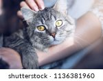 Stock photo woman at home holding her lovely fluffy cat gray tabby cute kitten with beautiful eyes pets 1136381960