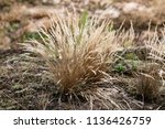 tufts of grasses on steppe   Shutterstock . vector #1136426759