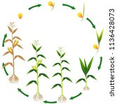 life cycle of a corn plant on a ... | Shutterstock .eps vector #1136428073