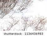 a white tailed ptarmigan in its ... | Shutterstock . vector #1136436983