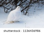 a white tailed ptarmigan in its ... | Shutterstock . vector #1136436986