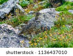 a white tailed ptarmigan in... | Shutterstock . vector #1136437010