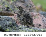 a white tailed ptarmigan in... | Shutterstock . vector #1136437013