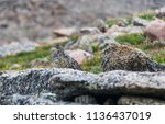 a white tailed ptarmigan in... | Shutterstock . vector #1136437019