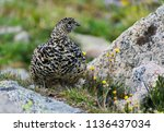 a white tailed ptarmigan in... | Shutterstock . vector #1136437034