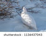a white tailed ptarmigan in its ... | Shutterstock . vector #1136437043