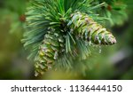 Young Pine Cones  With Drops Of ...