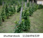 vineyard.grape vines in vineyard | Shutterstock . vector #1136496539