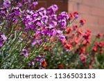 Erysimum Bowles's Mauve Plants...