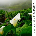 calla lilly with lake and... | Shutterstock . vector #1136594723