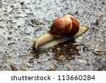 A Big Snail Is Crawling On The...