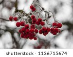 detail of red colored berries... | Shutterstock . vector #1136715674
