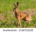 Stock photo wild hare beautiful close up in early morning sunrise stunning detail of the brown hare lepus 1136722220