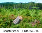 dead and felled trees attacked...   Shutterstock . vector #1136753846